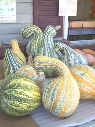 Tennessee Cushaw Pumpkins