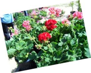 Geraniums at the market