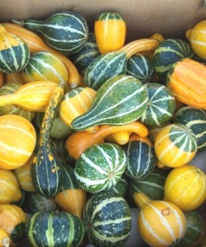 small gourds at Alan's