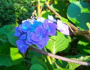 Hydrangea from my garden.